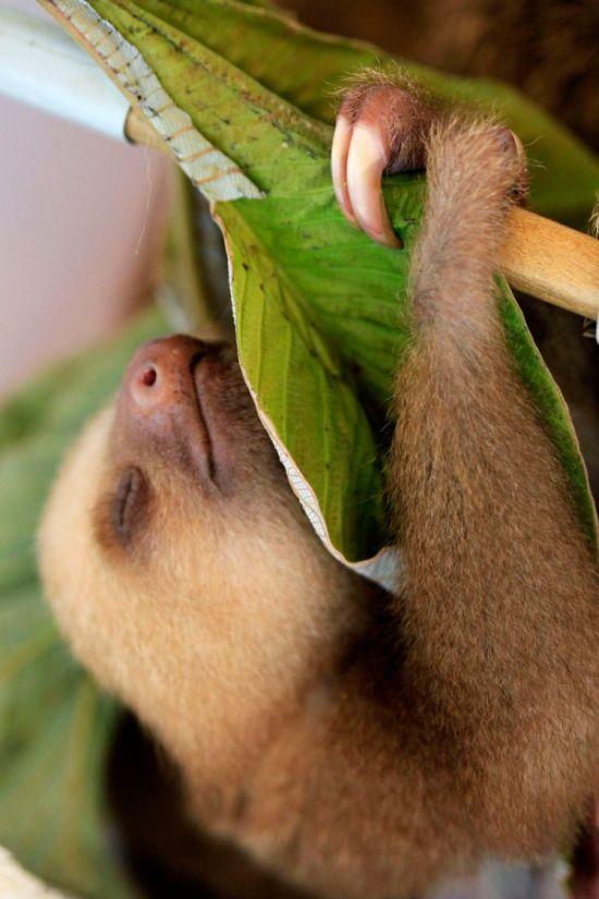 Baby Sloth (7 pics)
