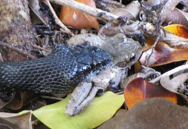 Toad Escapes a Snake (29 pics)