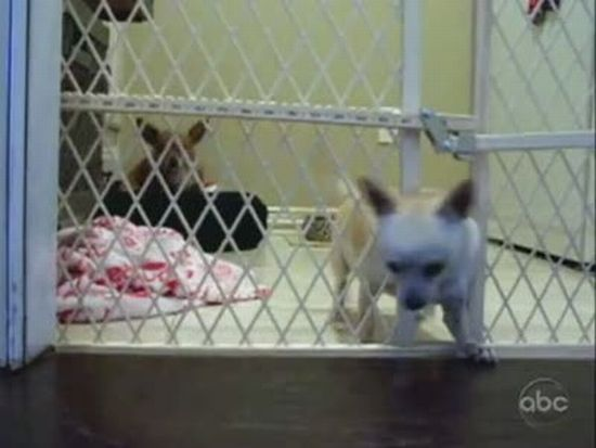 Chihuahua Makes Great Escape