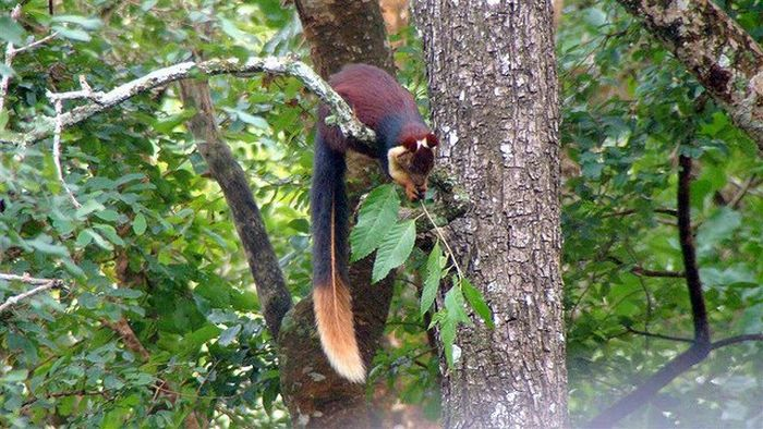 Indian Giant Squirrel (9 pics)
