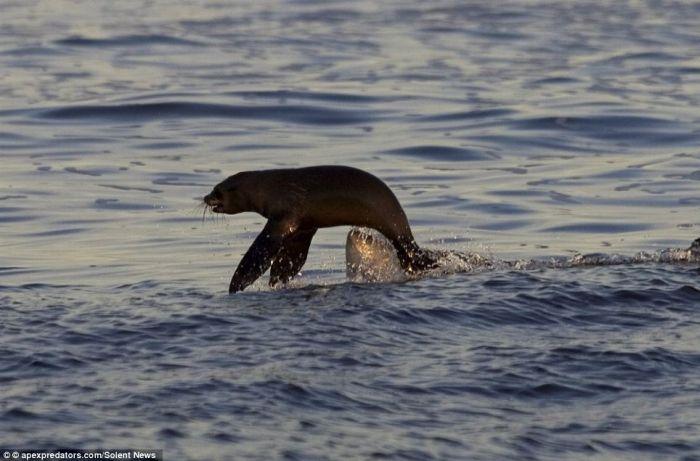 Lucky Seal Cheats Death (3 pics)