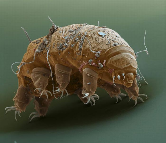 tardigrades 03 Tardigrades