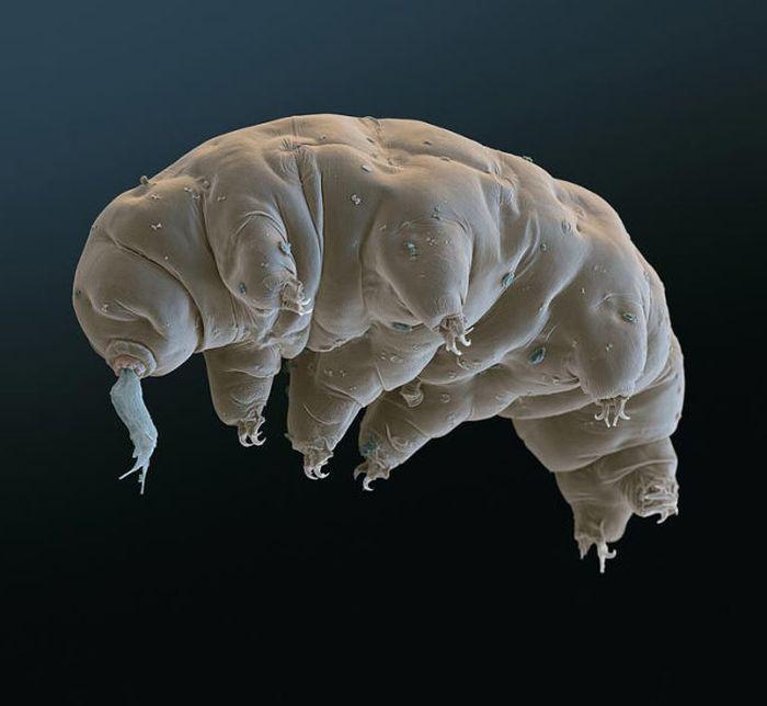 tardigrades 05 Tardigrades