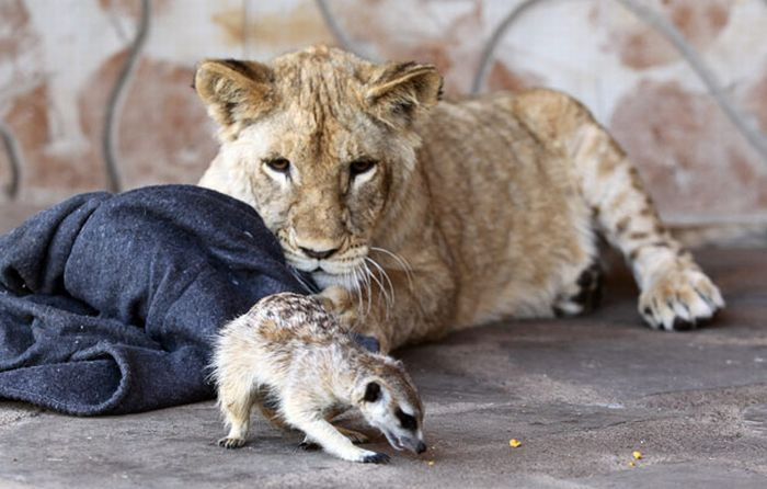 Simba and Timon in the Real Life (7 pics)