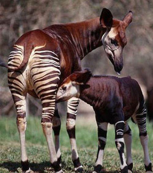 Okapi - Half-Zebra Half-Giraffe (14 pics)