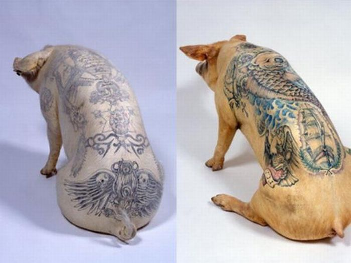 Tattoos on Pigs (31 pics)