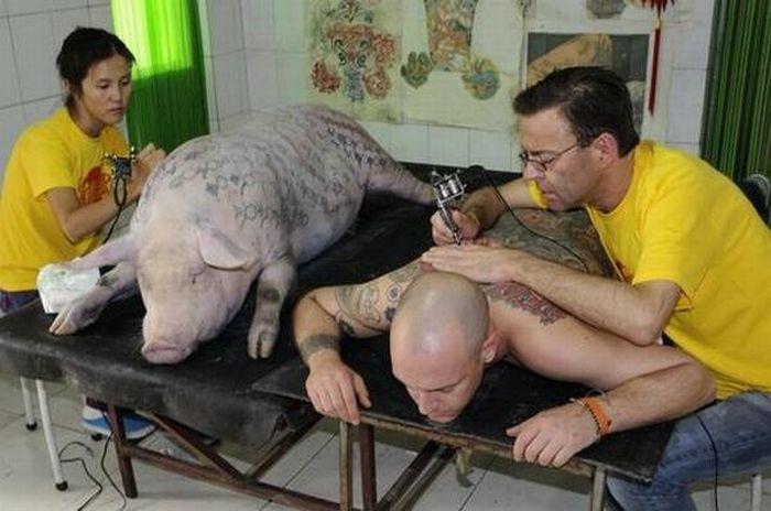 Tattoos on Pigs (31 pics)