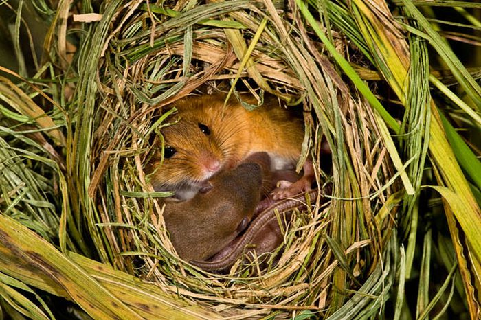 Harvest Mice (17 pics)