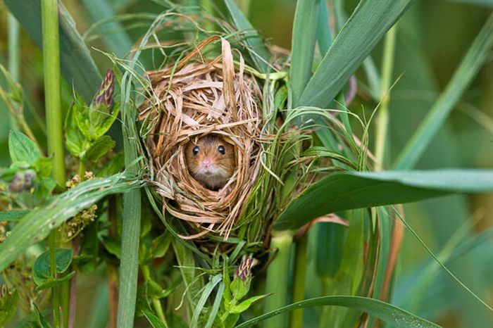 Harvest Mice (17 pics)