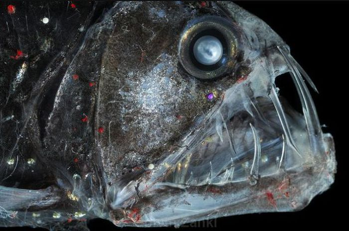 Real Life Deep Sea Monsters (32 pics)