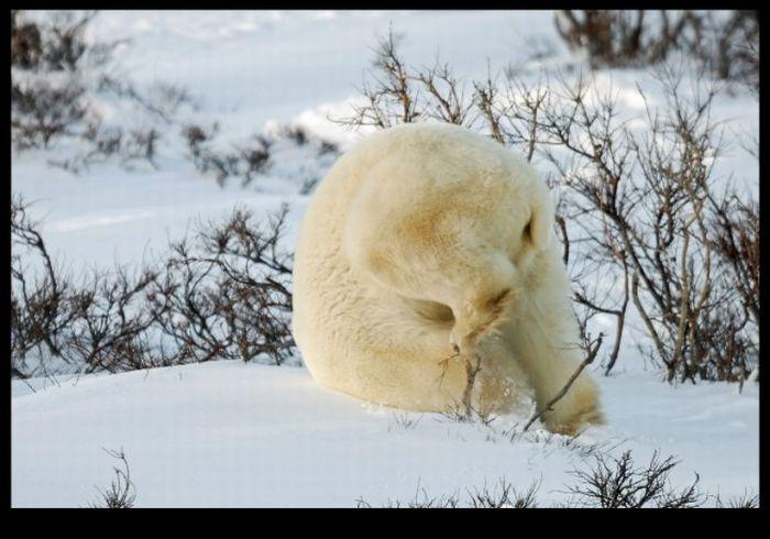 Roly-Poly Bear (4 pics)