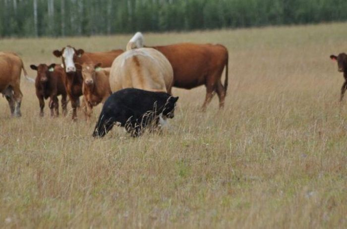 Bear Lost a Battle with Cows (13 pics)