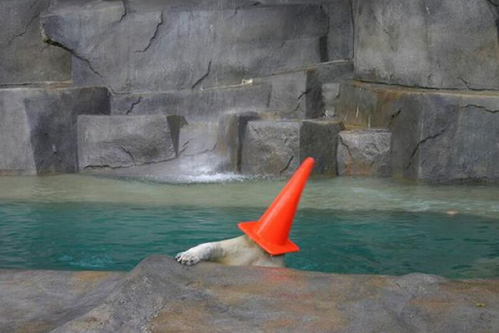 Polar Bears With Cones On Their Heads (6 pics)
