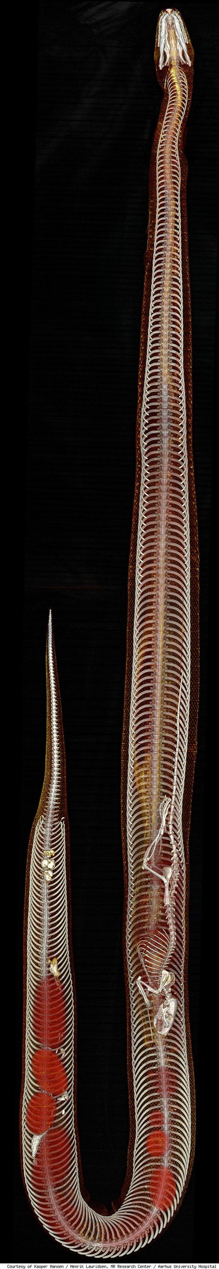 Rat Inside a Python (4 pics)