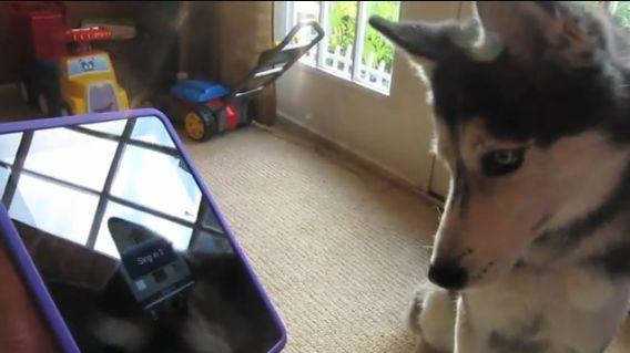Husky Dog Sings with iPAD