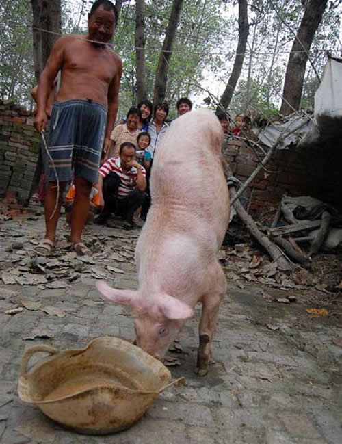 Two-Legged Pig Becomes Tourist Attraction (3 pics + video)