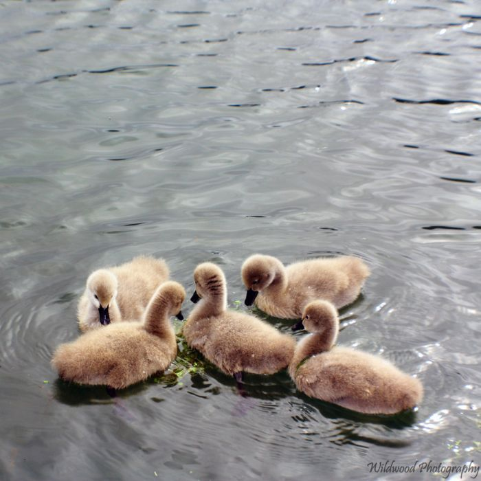 Cute Cygnets Photographs (20 pics)