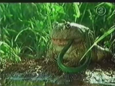 Bullfrog Swallows Snake