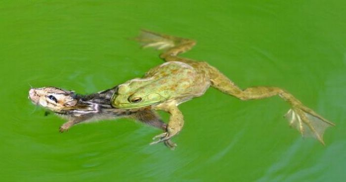 Frog vs Chipmunk (17 pics)