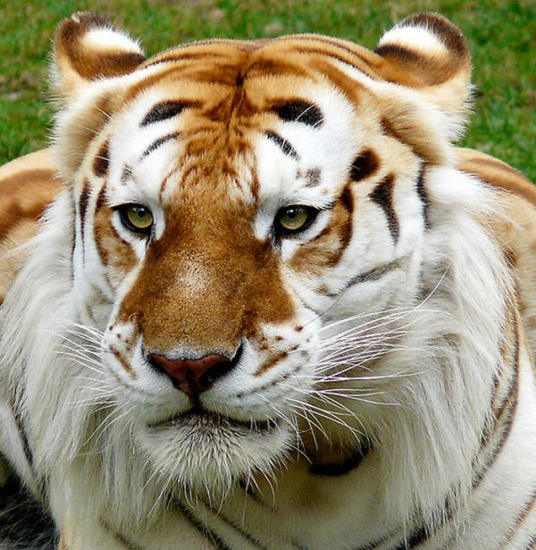 Unusual Golden Tabby Tiger (8 pics)