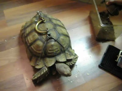 Sick Animal Abuse. Turtle and Tortoise With Handles