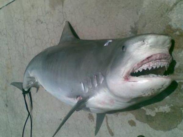 Human Remains Found Inside a Shark (4 pics)