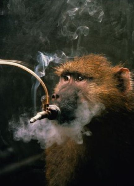 Smoking Monkeys (25 pics)