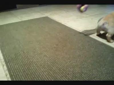 Cute French Bulldog Puppy Plays Ball