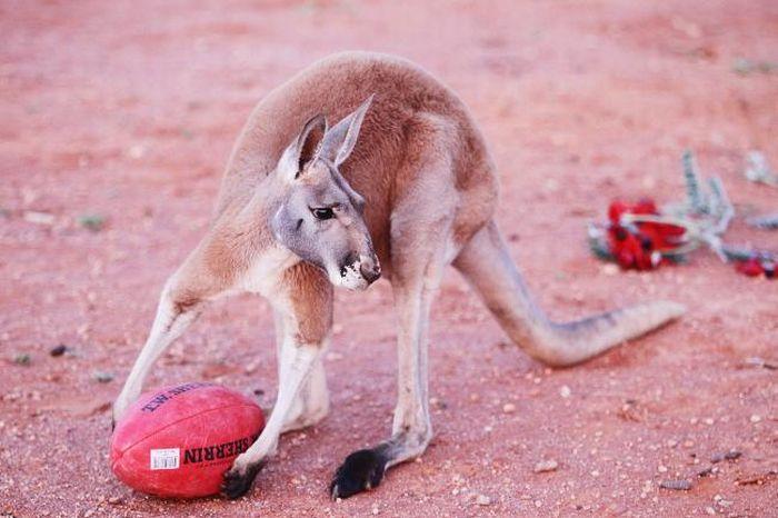 Pet Kangaroo (28 pics)