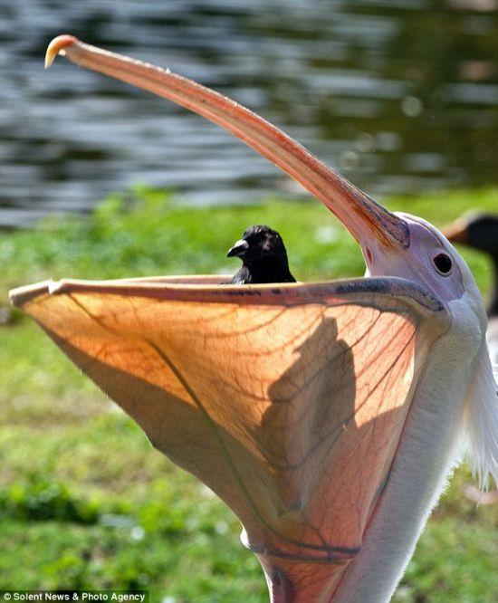 Pelican Swallows a Pigeon in London Park (4 pics)