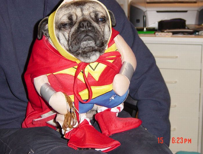 Sad Pugs in Costumes (35 pics)