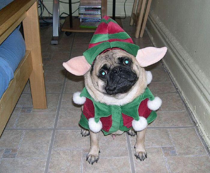 Sad Pugs in Costumes (35 pics)