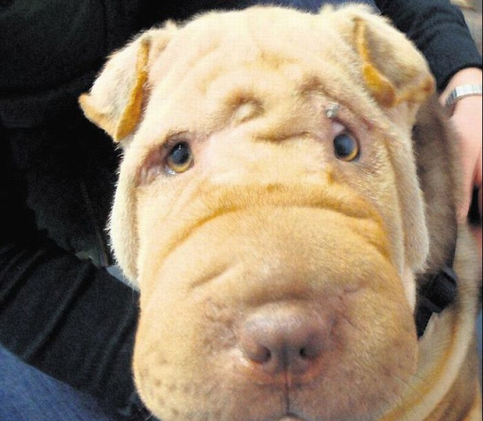 Shar Pei After Facelift (2 pics)