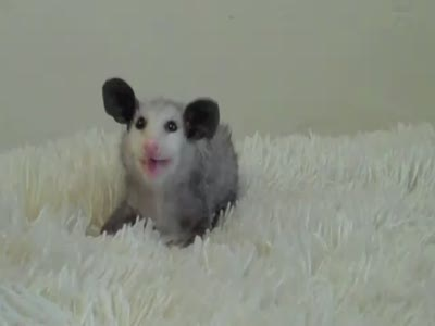 Baby Opossum Eating