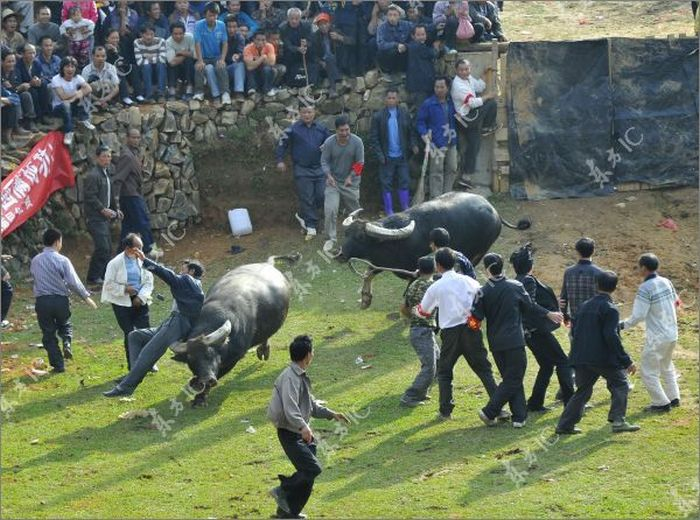 Escaping Bull Causes Panic in Bullfight in China (13 pics)