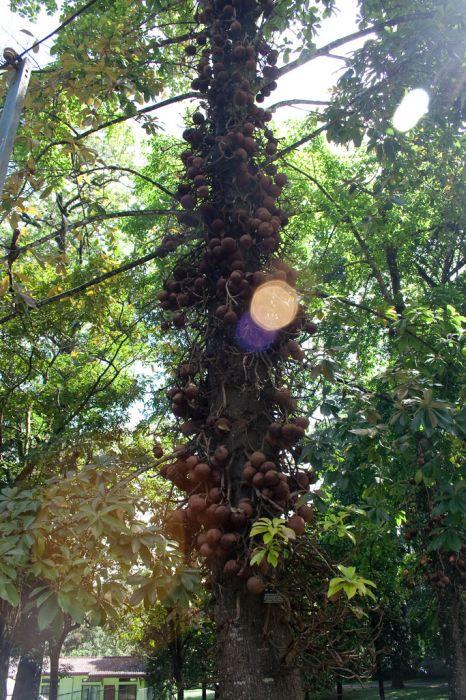 Cannonball Tree (11 pics)