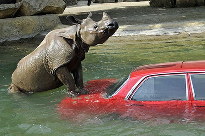 Animals Attacking Cars (23 pics)