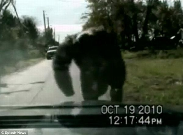 Pet Chimp Attacks a Police Car (7 pics + video)