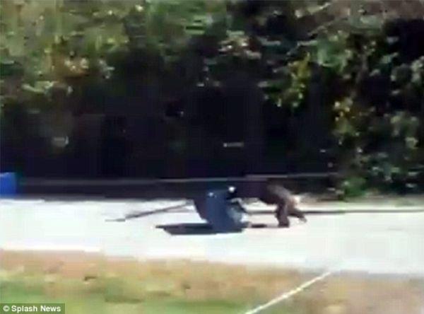 Pet Chimp Attacks a Police Car (7 pics + video)