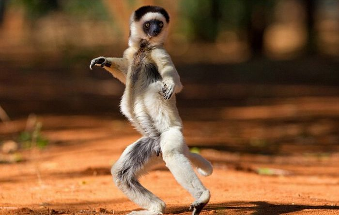 Dancing Lemurs (11 pics)
