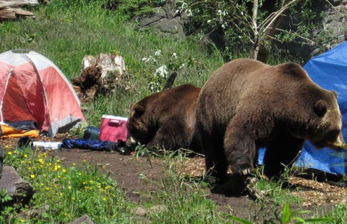 When a Bear Comes for a Visit (6 pics)