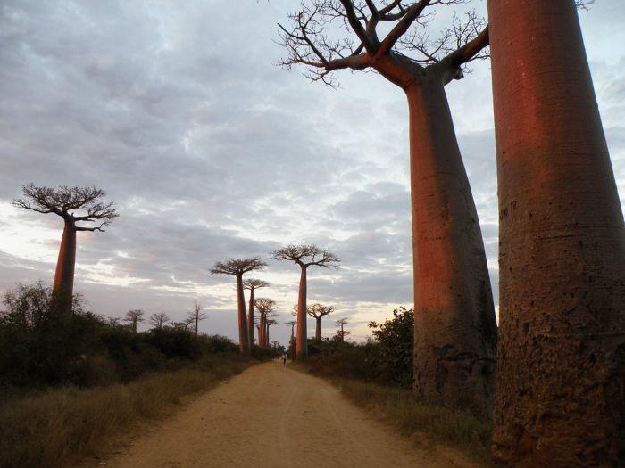 Baobab (16 pics)