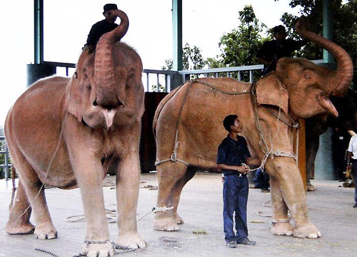 White Elephants (7 pics)
