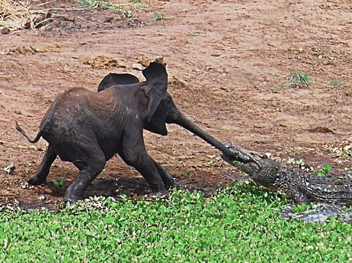 How the Elephant Got His Trunk (5 pics)