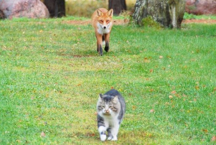 Fox vs Cat (2 pics)