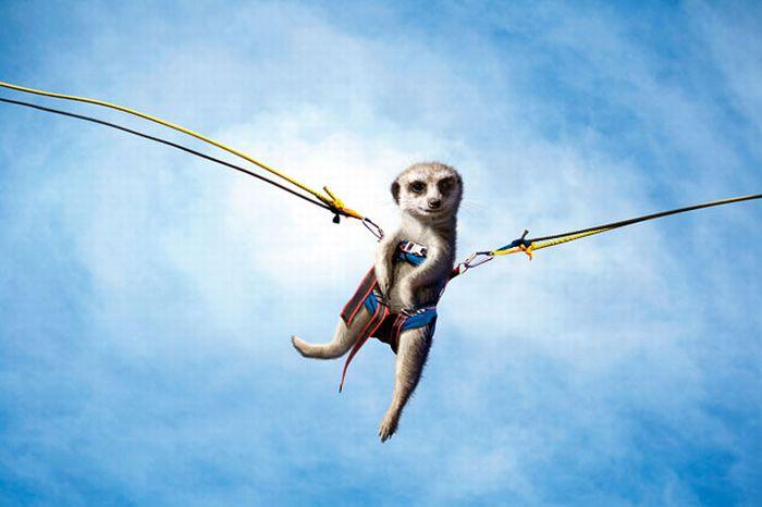 Maverick Meerkats 2011 (12 pics)