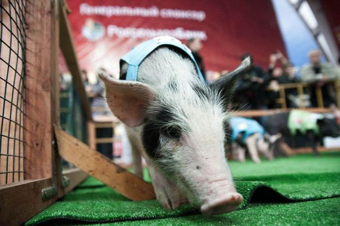 The 8th Annual Pig Olympics (19 pics)