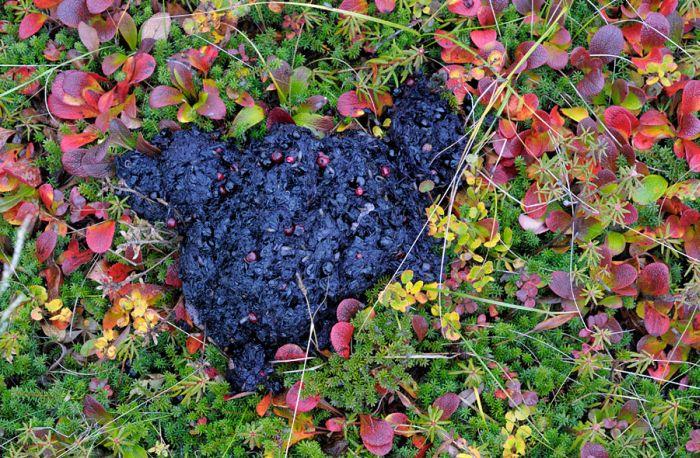 Bear's Crap (5 pics)