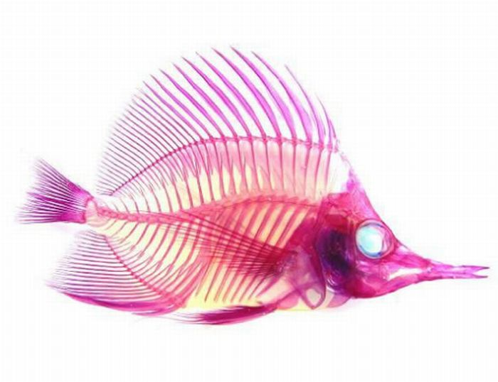 Colored Fish Skeletons (12 pics)
