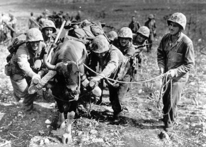 Animals in War (68 pics)